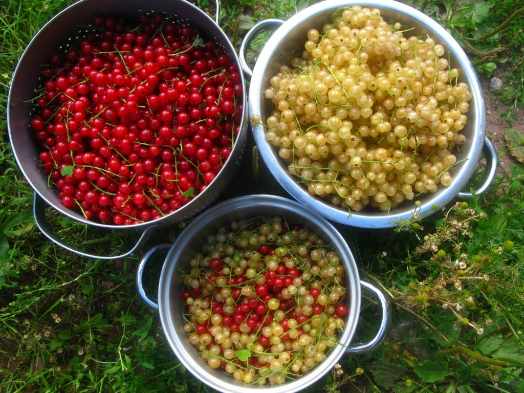 Harvest of red and whitecurrants